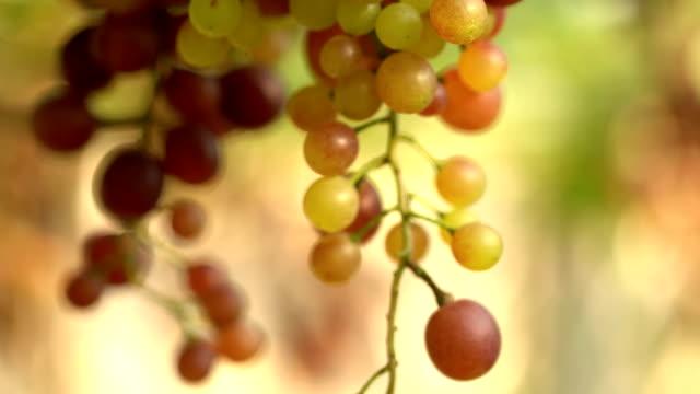 vídeos de stock e filmes b-roll de film tilt up:white grapes in vineyard - ramo parte de uma planta
