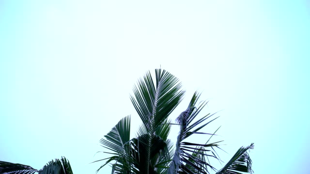 vídeos de stock e filmes b-roll de film tilt:palm tree tops - folha de palmeira