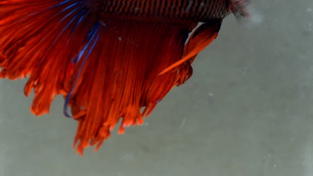 fin of siamese fighting fish is in fresh water - siamese fighting fish stock videos and b-roll footage