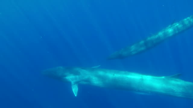 fin whale and her calf swim across in front of the camera. - fin whale stock videos & royalty-free footage