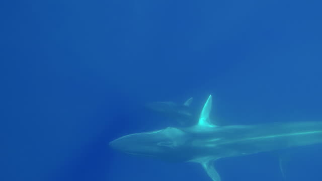 fin whale and her calf swim below the camera, atlantic ocean, the azores. - fin whale stock videos & royalty-free footage