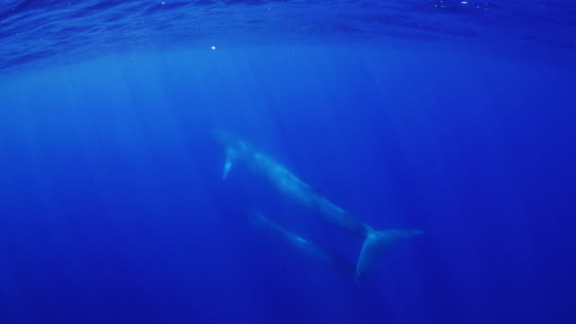 fin whale and her calf swimming away from the camera. - bedrohte tierart stock-videos und b-roll-filmmaterial