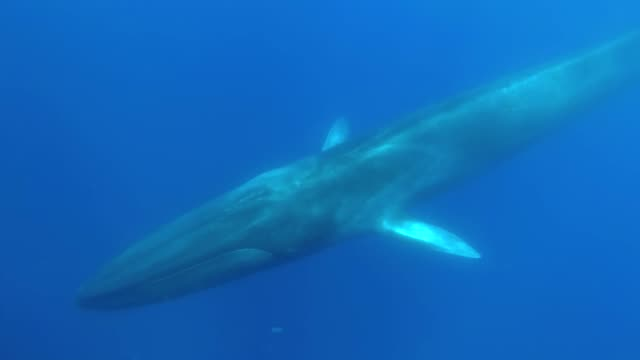 fin whale, balaenoptera physalus, atlantic ocean, pico island, the azores. portugal. - blue whale stock videos & royalty-free footage