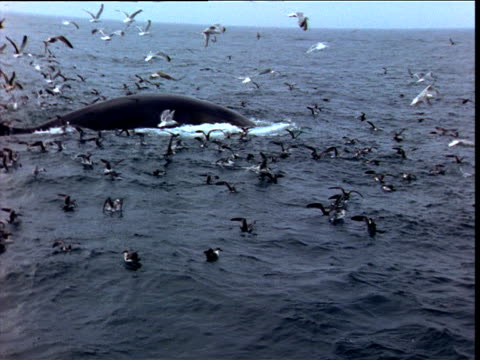 fin whale surfaces amongst gulls, bay of fundy - fin whale stock videos & royalty-free footage