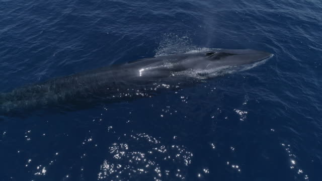fin whale surfaces close in blue ocean - fin whale stock videos & royalty-free footage