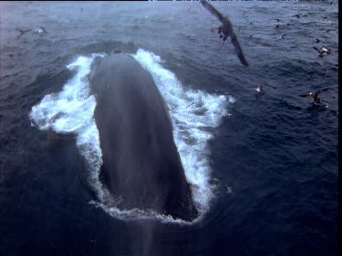 fin whale surfaces from camera, bay of fundy - fin whale stock videos & royalty-free footage