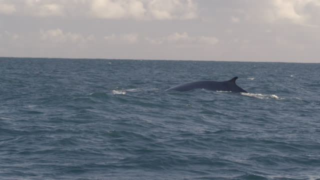 Fin whale (Balaenoptera physalus) surfaces in Irish sea, Ireland
