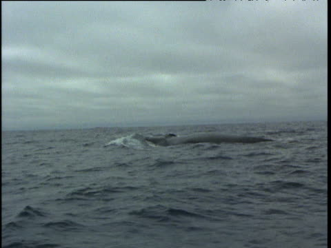 fin whale surfaces, south atlantic - fin whale stock videos & royalty-free footage