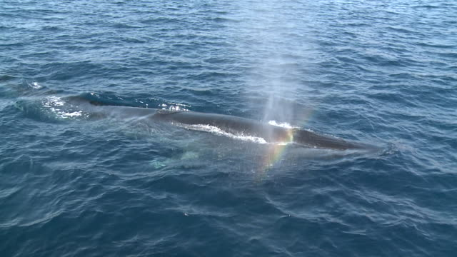 Fin whale (Balaenoptera physalus) surfacing - spray from blow hole, La Paz, Sea of Cortez, Mexico