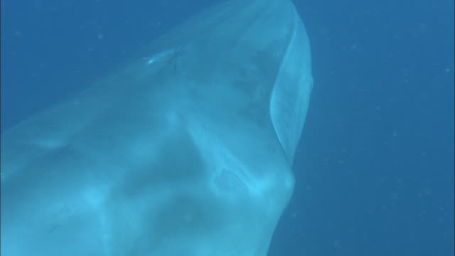 Fin whale (Balaenoptera physalus) swims by and defecates, Venezuela