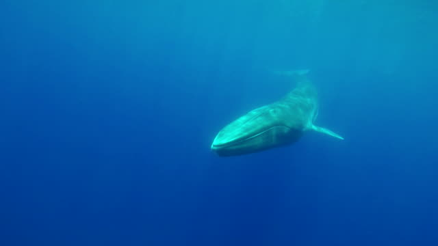 Fin whale swims very close and straight at the camera, Atlantic Ocean, The Azores.