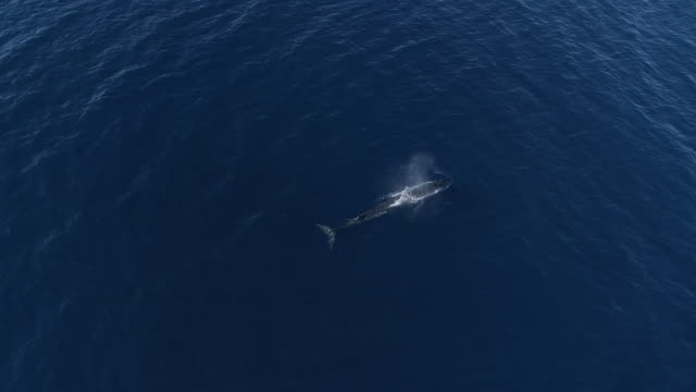 fin whale travels and dives in blue ocean - fin whale stock videos & royalty-free footage