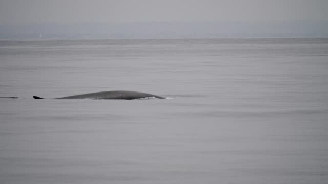 fin whale - fin whale stock videos & royalty-free footage