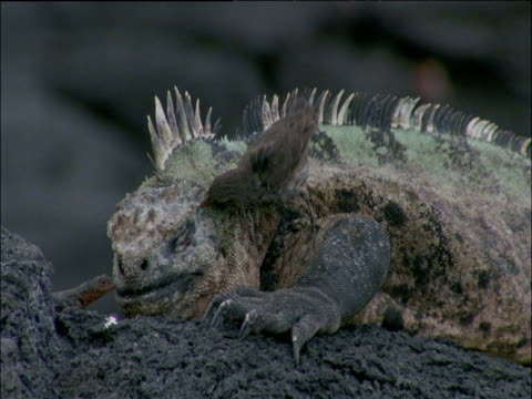 Finch and lizard clamber on dozing marine iguana, finch pecks it, Galapagos Islands