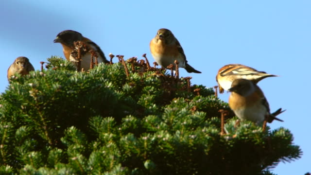 finch birds on a korean fir tree on hallasan (the highest mountain in south korea), jeju island - バードウォッチング点の映像素材/bロール