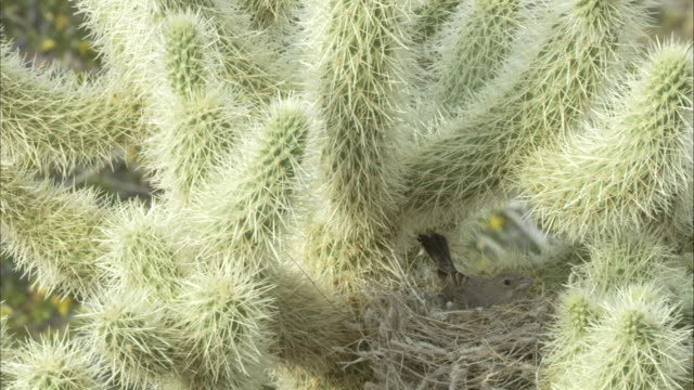 Finch nests in cactus thorns