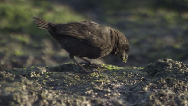 a finch pecks at the muddy ground. available in hd. - galapagos islands stock videos & royalty-free footage