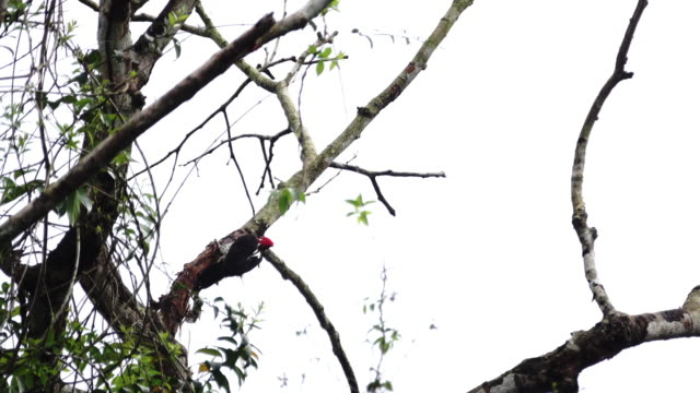 find a lineated woodpecker busy for something. - lineated woodpecker stock videos & royalty-free footage