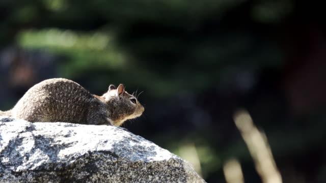vídeos de stock e filmes b-roll de find a marmot on a rock. - parque nacional de yellowstone