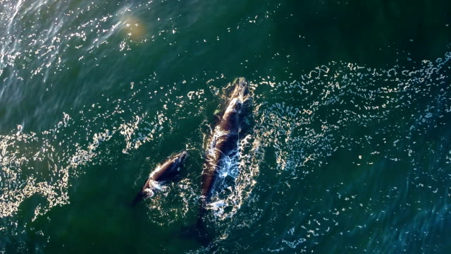 finding refuge in a bay - southern right whale stock videos & royalty-free footage