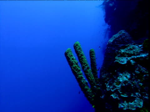 Fingers of sponge jut out from edge of coral reef, Cayman Islands