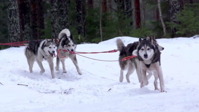 Finland - Huskies pulling sleigh through woods