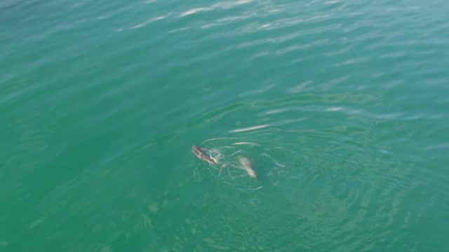 finless porpoise (dolphin indigenous to south korea) hunting grey mullet around fish farm / south korea - ネズミイルカ点の映像素材/bロール
