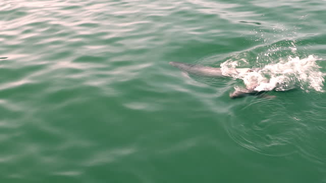 finless porpoise (dolphin indigenous to south korea) hunting grey mullet around fish farm / south korea - mullet fish stock videos & royalty-free footage