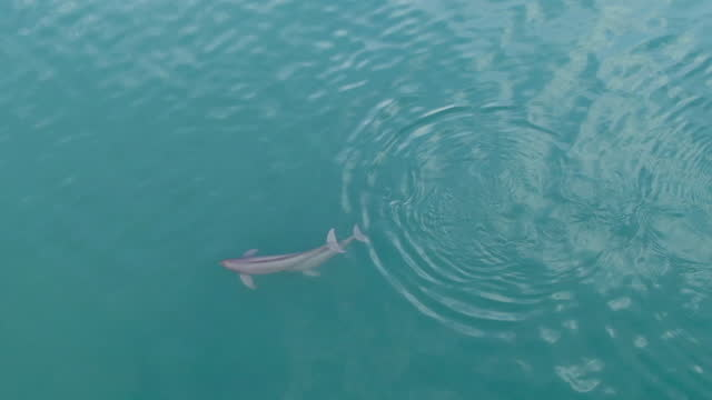 finless porpoise (dolphin indigenous to south korea) seen from sky which swimming at baengnyeongdo island / ongjin-gun, incheon, south korea - ネズミイルカ点の映像素材/bロール