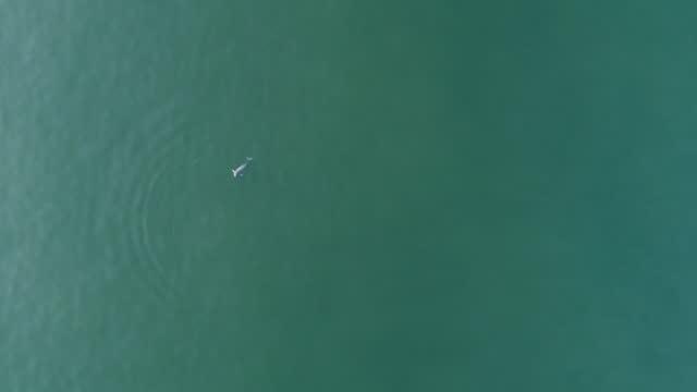finless porpoise (dolphin indigenous to south korea) seen from sky which swimming at sea of baengnyeongdo island / ongjin-gun, incheon, south korea - ネズミイルカ点の映像素材/bロール