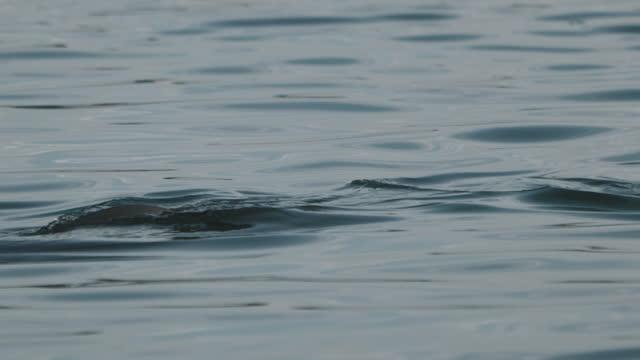 finless porpoise (dolphin indigenous to south korea) swimming around fish farm / south korea - ネズミイルカ点の映像素材/bロール