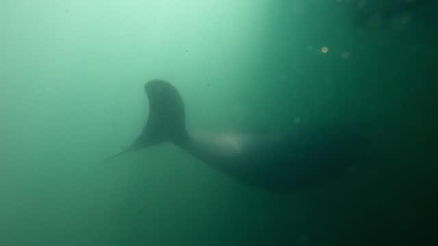 finless porpoise (dolphin indigenous to south korea) swimming around fish farm / south korea - cetacea stock videos & royalty-free footage