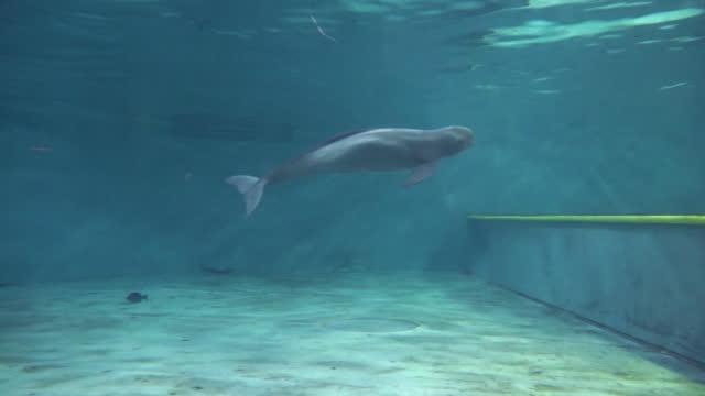 finless porpoise (dolphin indigenous to south korea) swimming / south korea - ネズミイルカ点の映像素材/bロール