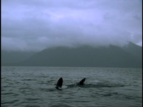 fins of salmon sharks cut through the water near a mist-covered mountain. - ダイビング用のフィン点の映像素材/bロール