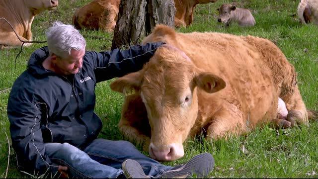 fiona is a beautiful cow with a very sweet disposition. she is four years old and she has lived her entire life on this wonderful farm in ontario,... - animal nose stock videos & royalty-free footage