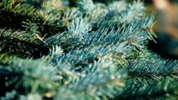 Fir branches blue spruce.