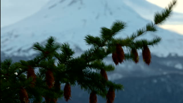 Fir cones and branch bokeh with snow covered mountain in winter Mt. Hood