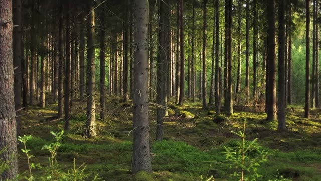 fir forest in evening light in spring - woodland stock videos & royalty-free footage