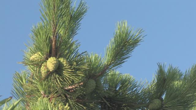 vídeos de stock, filmes e b-roll de pinheiro 2-hd 30f - ramo parte de uma planta