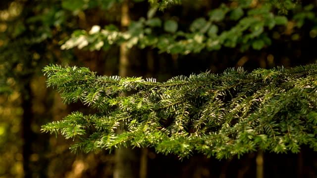 fir tree branch close-up - fir tree stock videos and b-roll footage