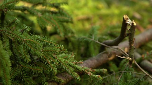 fir tree branch macro shot in sunny spring forest - branch stock videos & royalty-free footage