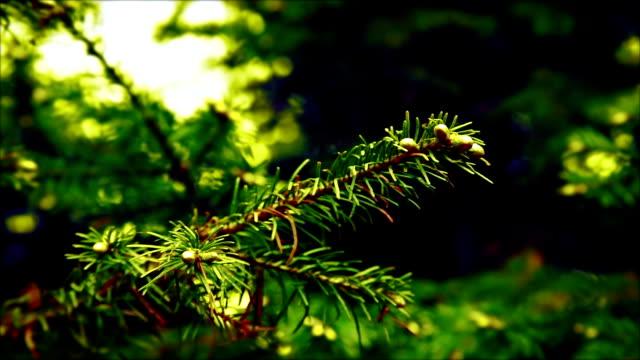 Branche Sapin