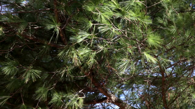 fir tree in the wind - hd 30p - coniferous stock videos & royalty-free footage