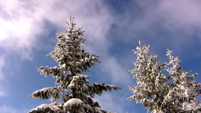 Tanne Baum im winter