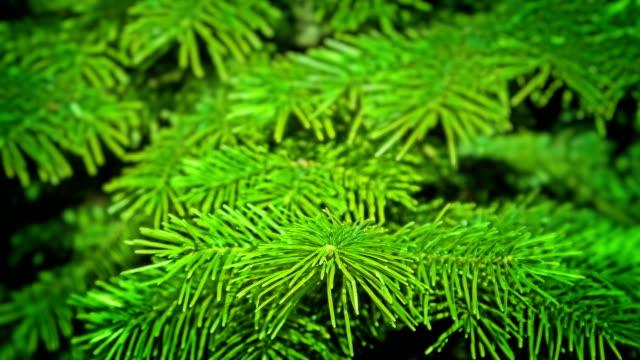 vídeos y material grabado en eventos de stock de abeto - pinaceae
