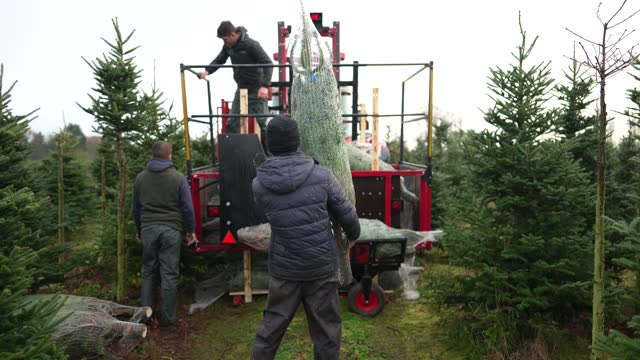 GBR: Nordmann Fir Christmas Tree Is Felled In Preparation For Position Outside Downing Street