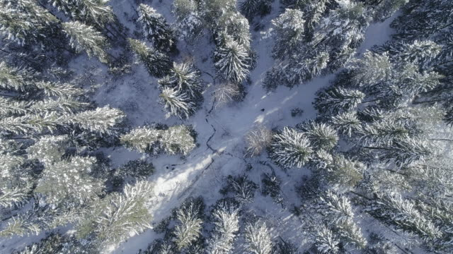 vídeos de stock e filmes b-roll de fir trees covered by snow in the winter forest in sunny bright day - pinhal
