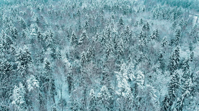 vídeos de stock e filmes b-roll de fir trees covered by snow in the winter forest, moscow - rússia