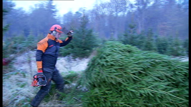 vidéos et rushes de fir trees cut down from the windsor crown estate will be given to various london institutions england berkshire windsor crown estate ext good shots... - bûcheron