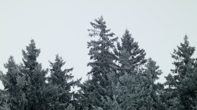 fir trees in a blizzard - coniferous stock videos & royalty-free footage